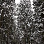 Vidzemes mežs